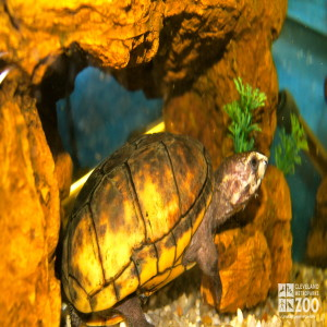 Striped Mud Turtle side view