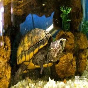 Striped Mud Turtle Swimming