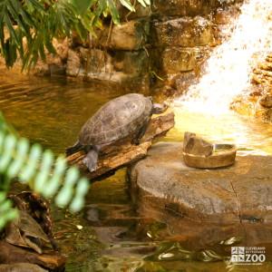 Spot-Bellied Side-Necked Turtle 1