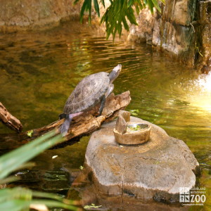 Spot-Bellied Side-Necked Turtle 2