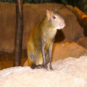 Red-Rumped Agouti 1