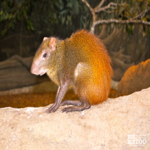 Red-Rumped Agouti 2