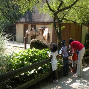 Kindergarten Students Observe Camels