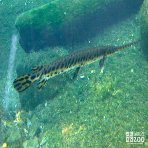 Alligator Gar 2