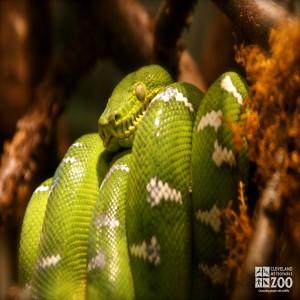 Emerald Tree Boa 2