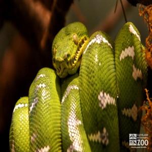 Emerald Tree Boa 3