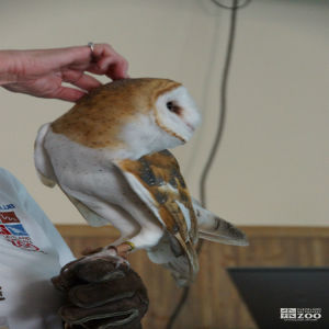 Barn Owl at Family Discoveries