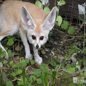 Fennec Fox Outside