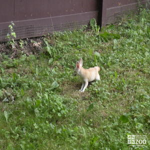 Fennec Fox From a Distance