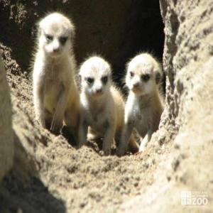 Baby Meerkat Pups
