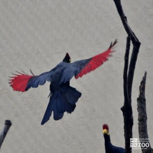 Lady Ross's Turaco in Flight