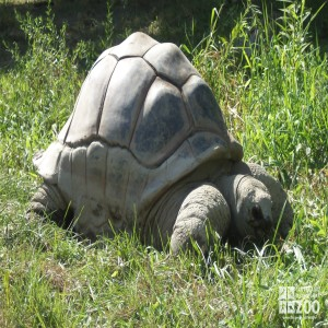 Aldabra Tortoise in the Grass