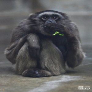 Mueller's Gibbon Eating a Leaf