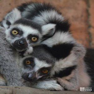 Ring-Tailed Lemur Up Close 2