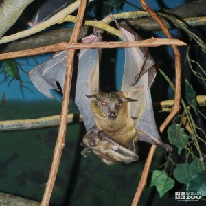 Straw-Colored Fruit Bat  and Baby