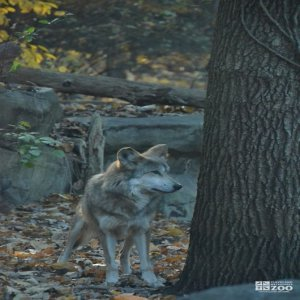 Mexican Gray Wolf Standing
