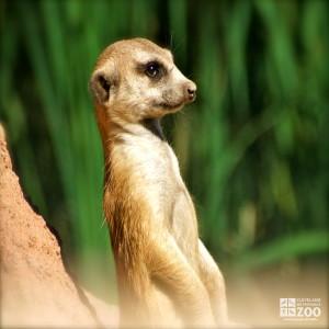 Meerkat portrait 1