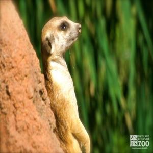Meerkat Portrait 2