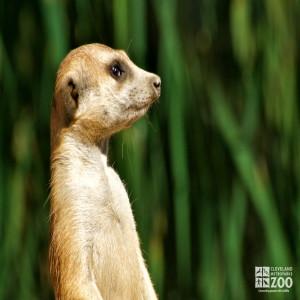 Meerkat Portrait 3