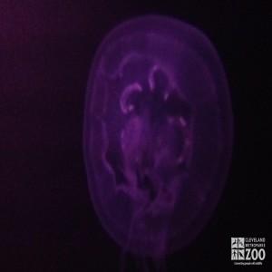 Moon Jellyfish 3