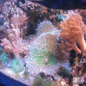 Mushroom Coral and Kenya Tree Coral