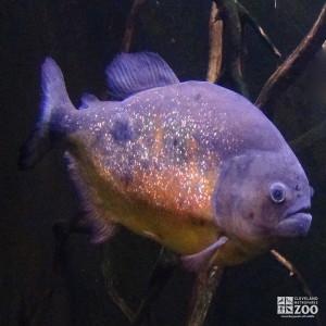 Giant Orange Piranha 1
