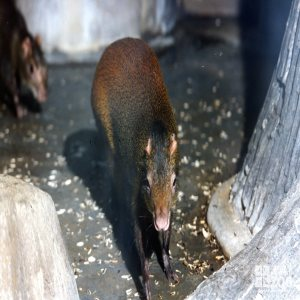 Agouti Facing Camera with Seeds