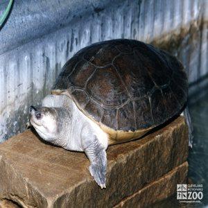 Batagur Turtle Side View