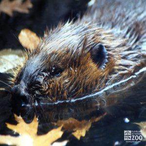 Beaver Close-up 2