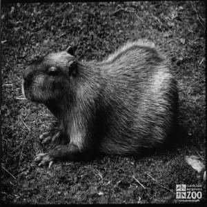 Capybara Side View