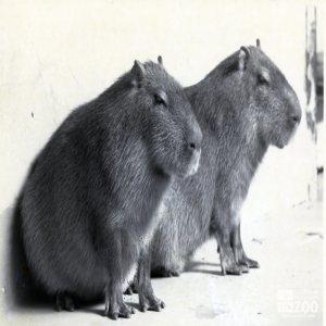 Two Capybaras