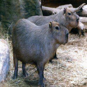 Two Capybaras 2