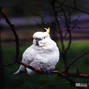 Cockatoo on Branch