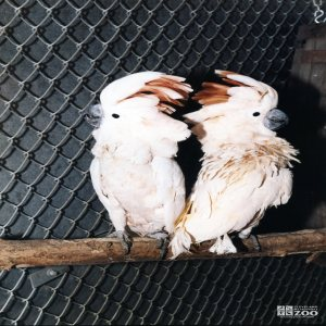 Two Cockatoos 2