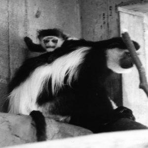 Two Colobus Monkeys