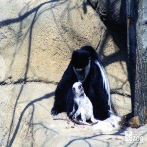 Colobus Monkey with Baby 3