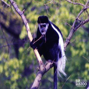 Colobus Monkey in Tree 2