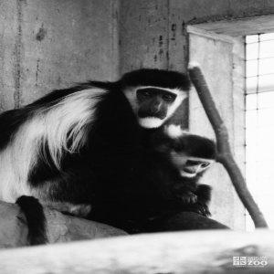 Colobus Monkey Baby 2