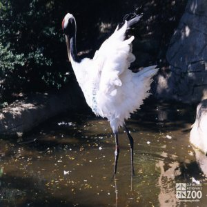 Crane, Japanese Red-Crowned