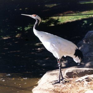 Crane, Japanese Red-Crowned 3