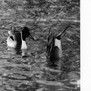 Ducks, Pintail