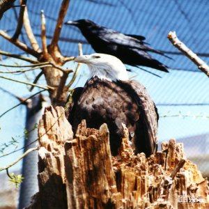 Eagle, Bald 2