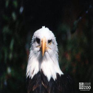 Eagle, Bald 4