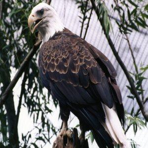 Eagle, Bald 5