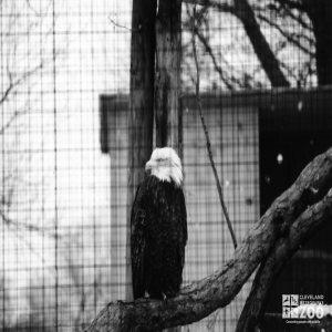 Eagle, Bald 7