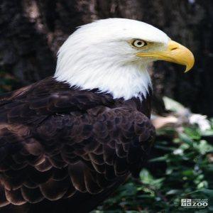 Eagle, Bald 8