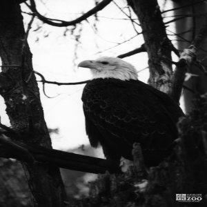 Eagle, Bald 12