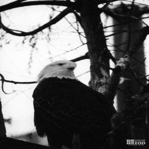 Eagle, Bald 10