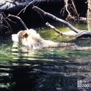 Mexican Gray Wolf Swimming