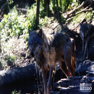 Mexican Gray Wolf Refreshed After Swim